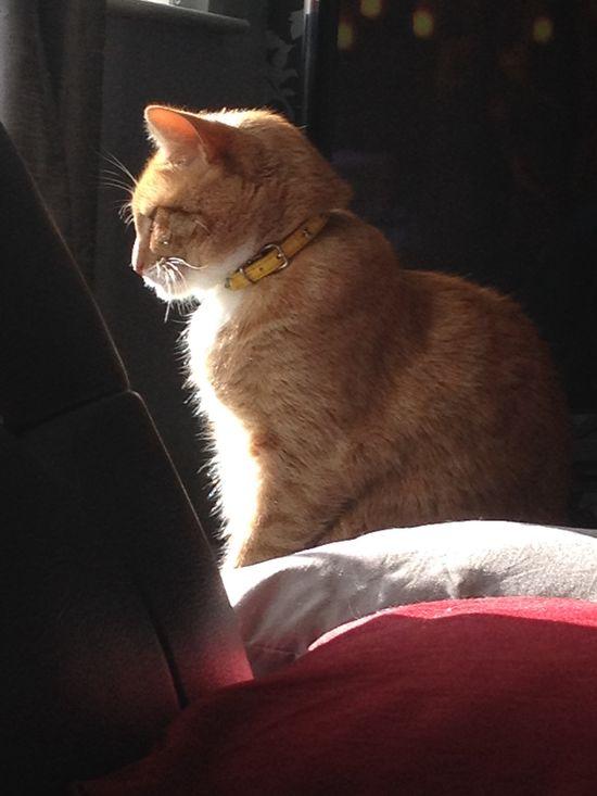 Sunbathing #gingercat #cats #cute #pets