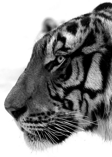 Tiger    www.verycoolphoto...
