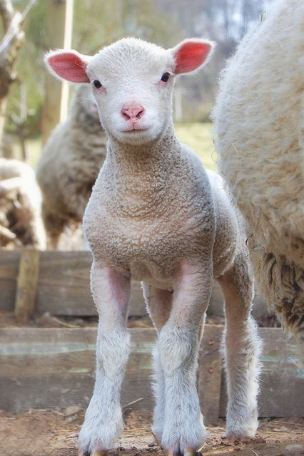 Long Legs by tj.blackwell, via Flickr #sheep #lamb #baby #farm #animals