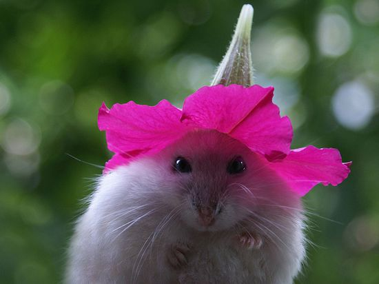 "A hamster with a pink petunia flower hat on her head. Photo by Dragan Todorovic of ""Mitza."""