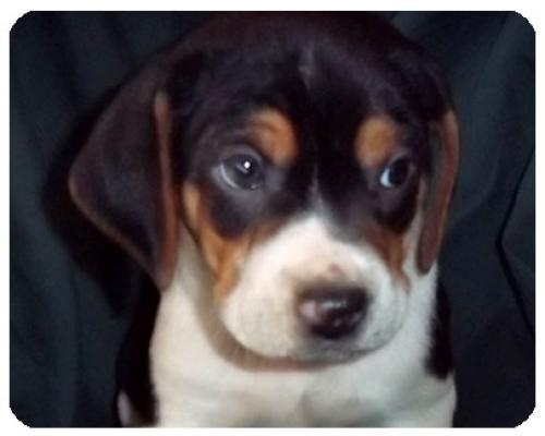 Baby Burt is an #adoptable #BostonTerrier #Hound #Puppy #Dog in #Utica, #MICHIGAN I am one of six 7-wk old pups, named after Michigan inland lakes.  Our mom is 20 lbs. and  ... ...Read more about me on @petfinder.com