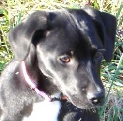 Giblet is an adoptable Labrador Retriever Dog in Andover, MA. **Please read Giblet's entire profile, which includes a link to the adoption application. Thank you!** Giblet is a 12 week old lab / point...