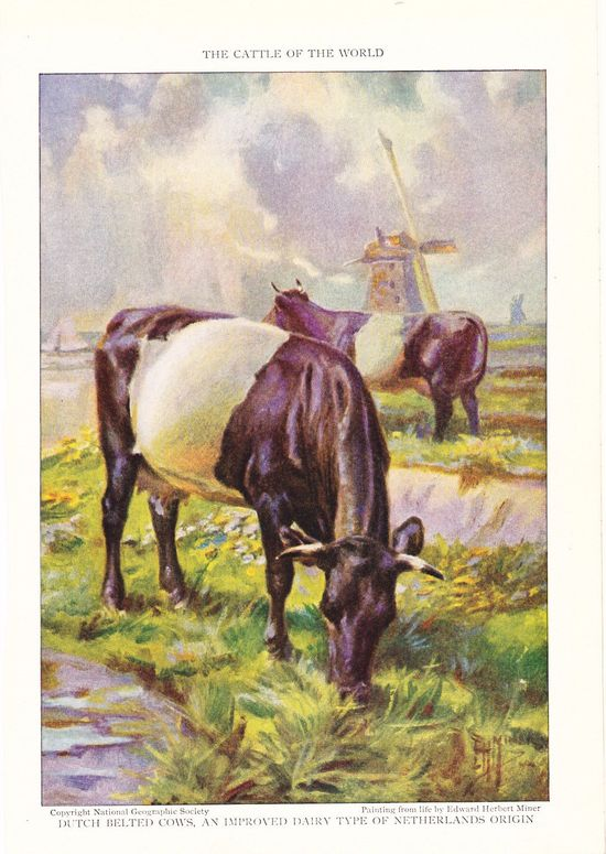 1925 Animal Print - Dutch Belted Cows