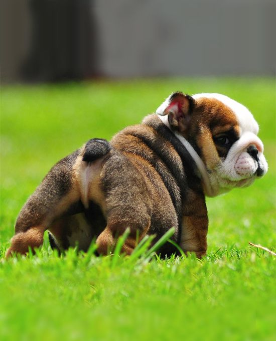 are you checking out my booty..#dogs #puppies #animals #english #bulldog  #pets