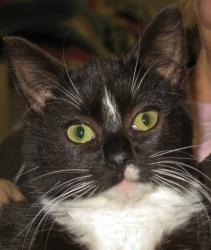 Bob is an adoptable seven month old neutered male Domestic Short Hair cat in Jefferson, WI.