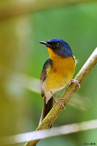 Hill Blue Flycatcher