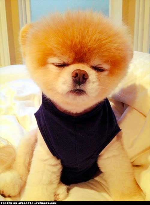 """""""Boo the Pomeranian is still sleepy and wants just a few more minutes."""""""