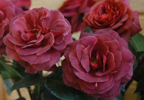 Cinnamon Spice garden rose