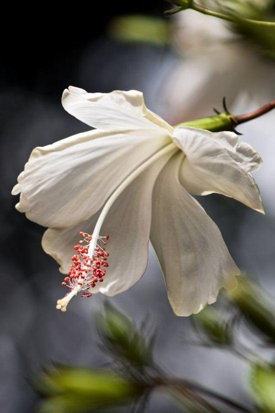 White Beauty Flower
