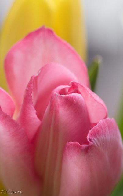 ~~Pink tulip petals by nemi1968~~