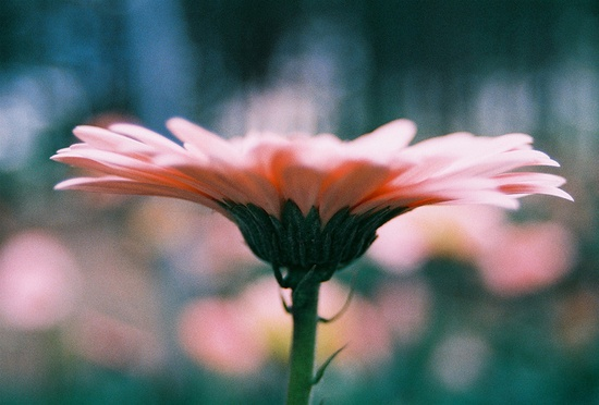 portrait of a gerber daisy • old*love