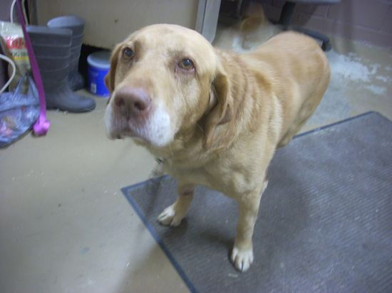 #OHIO #URGENT - #GassingShelter ~ ID 6 AVAILABLE ! - Special Needs - Tri-Paw. Labrador Retriever • Adult • Male • Medium 10 yrs old.  www.petfinder.com... CARROLL COUNTY DOG POUND 2185 Kensington Rd NE Route 9  #Carrollton OH 44615 Ph 330-627-4244