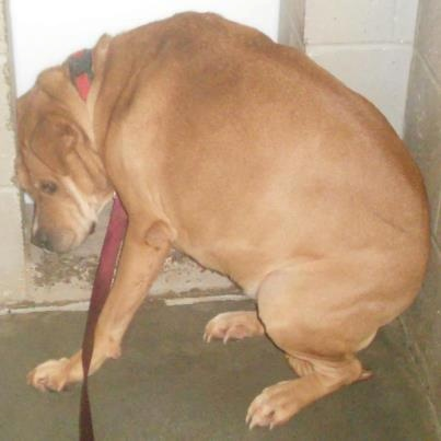 This is so heartbreaking-PLZ SHARE!  Duchess lived her entire life with the same owner.  Recently her owner passed away and she is now in a shelter. Please share & help her find love & security again.   All animals located at: Address: Habersham County Animal Care & Control 4231 B. Toccoa Highway, Clarkesville, GA 30523 Phone: (706)839-0195 Email: mailto:Habershams... Shelter Hours: Monday: Closed   Tues-Friday: 10am-5:00 pm, Closed 12-1 for lunch Saturday: 10am – 2pm We ?,