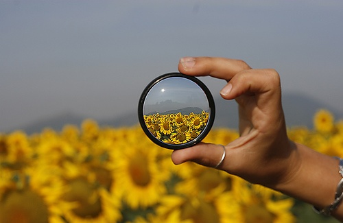 magnifying sunflowers