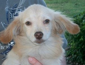 Brando is an adoptable West Highland White Terrier Westie Dog in Sulphur, OK. Brando is a cream colored tiny male westie mix. His mother was a solid white westie and we were told daddy dog was a very...