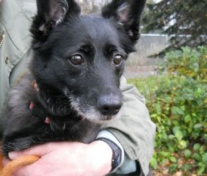 NO LONGER LISTED FOR ADOPTION......HOPING FOR A HAPPY ENDING!!!....TAZ: Schipperke Mix, Dog; Anchorage, AK