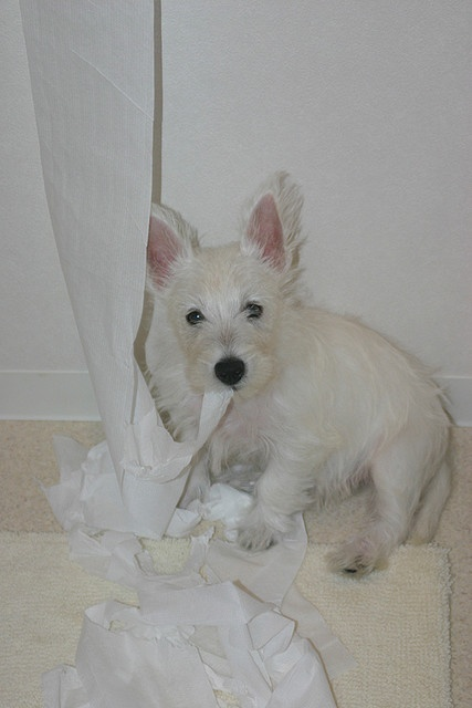 When I was a baby #westie