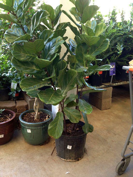 fiddle leaf fig trees at home depot