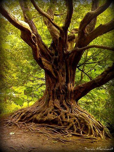 Druids Trees:  Yew #tree at Blarney Castle, Ireland.