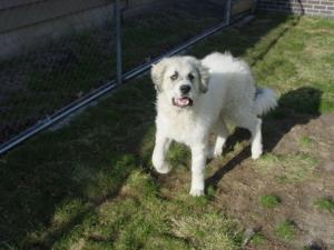 BEAU is an #adoptable Great Pyrenees Dog in #Lincoln, #NEBRASKA. Please click on pic for additional info on this dog
