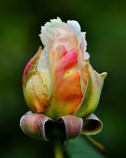 Rosa Renaissance 'Harzart'