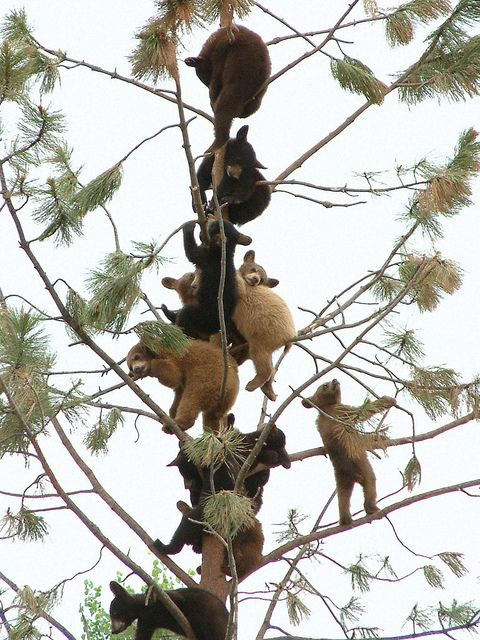 Why are all the baby bears in the tree?