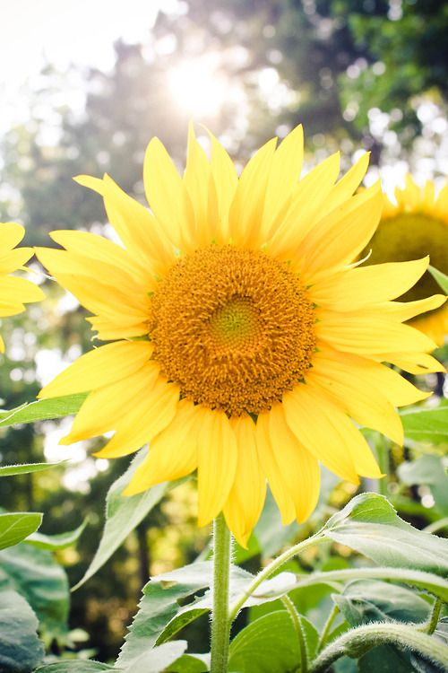 Sunflower  Likes