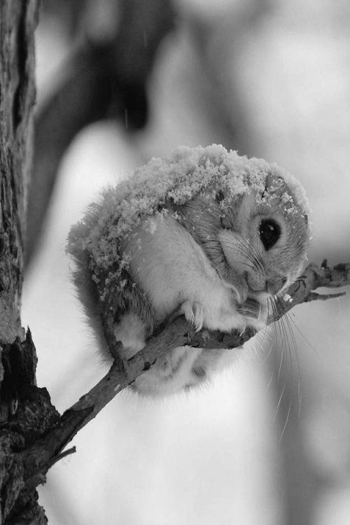Japanese flying squirrel. ?
