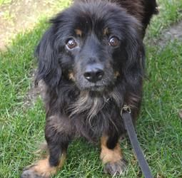 Kyle is an #adoptable #Dachshund / #Spaniel #Dog in #Hartland, #WI. Please take time to read this ENTIRE listing, including clicking on the 'Read More About This Pet' link located below. Please contact us by email on...