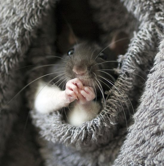 rats love fluffy blankets and look at those little hands!!!!