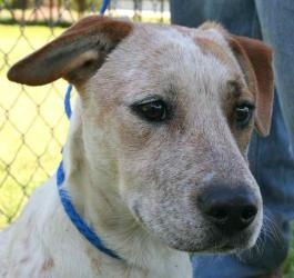 Charlotte is an adoptable Cattle Dog Dog in Chipley, FL. Charlotte - Red & white Heeler, female - 1 yr. old, light colored....