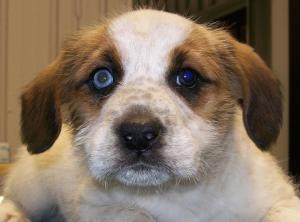 Fiona is an #adoptable Saint Bernard St. Bernard #Puppy Dog in #Hartford, #KENTUCKY. Fiona & her brothers were turned in by their owners.  These babies will be available for a...
