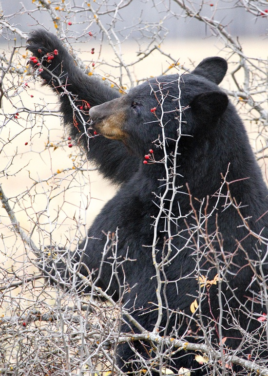 Male Black Bear Eating Red Berries