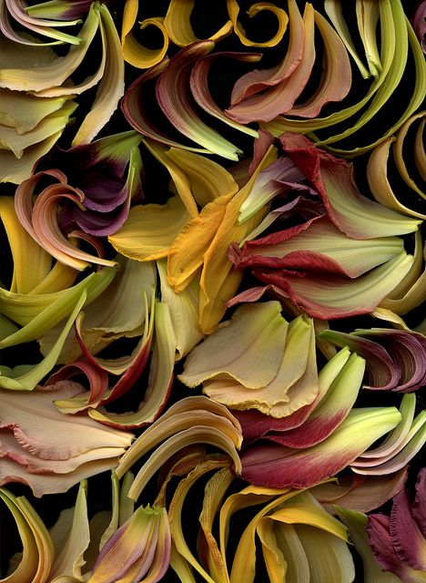 Hemerocallis by Fred #Photography #Flowers #Horticultural_Art