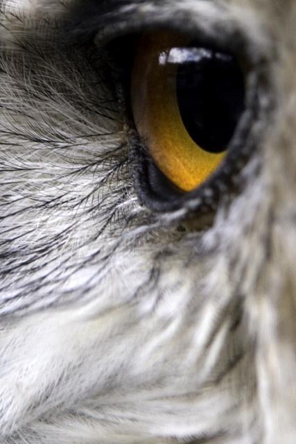 Owl eye  ?