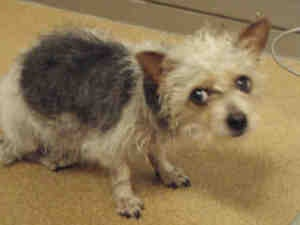 MARSHA is an adoptable Cairn Terrier Dog in Crystal Lake, IL.  ...