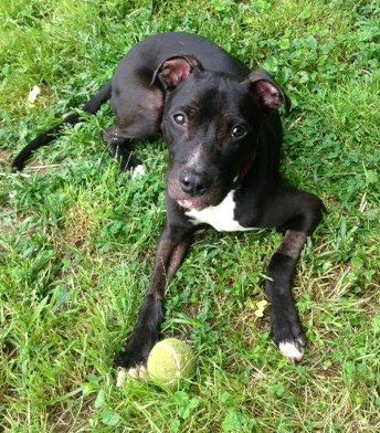 Hendrix is a soldier!Hendrix is a 1 year old SWEET as he could be APBT mix. We call Hendrix our solider because he has been through so many medical scares in his short little life. First he had terrible mange, then he had parvo, then he had MRSA and...