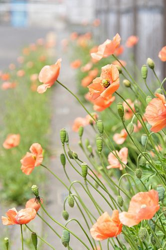 Poppies. Love the pops of orange in a field of green.