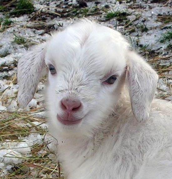 Baby goat =)