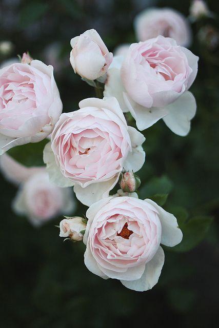 Roses by AMM blog, via Flickr