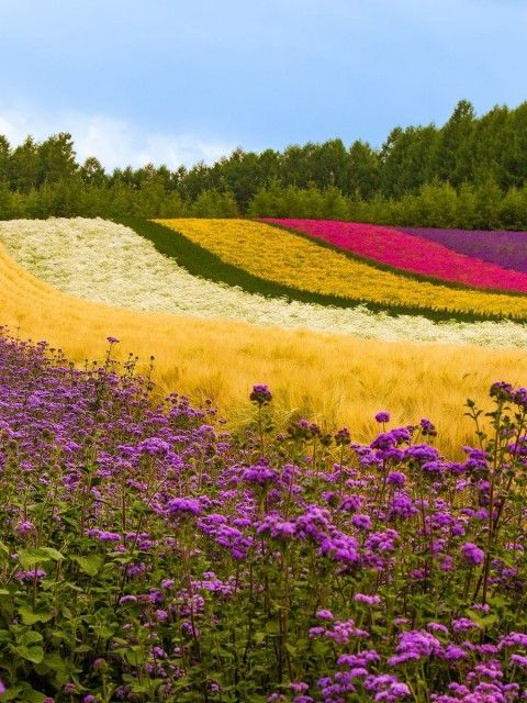 Japan - Flower Field I wish I can be there.