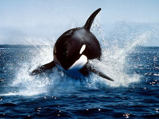 Largest of the dolphins, the killer whale, or orca, is a highly successful predator, feeding on fish, seals, and sometimes whales.