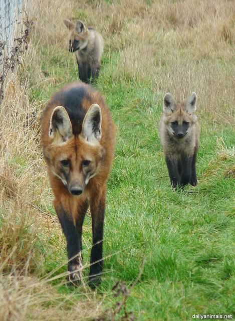 ?maned wolf family by jaffa_tamarin