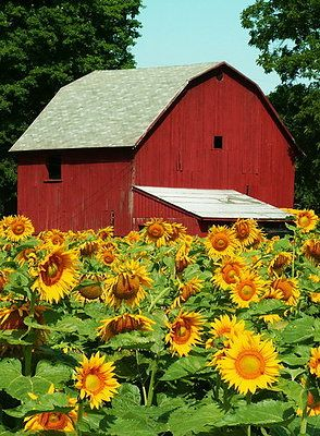 Midwestern sunflower farm, Michigan by Lori Sparkia