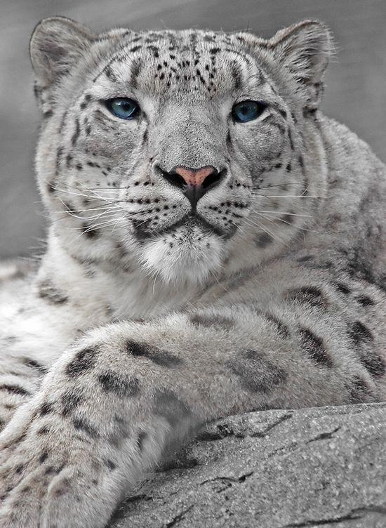 Snow Leopard Portrait by Tom Hadley