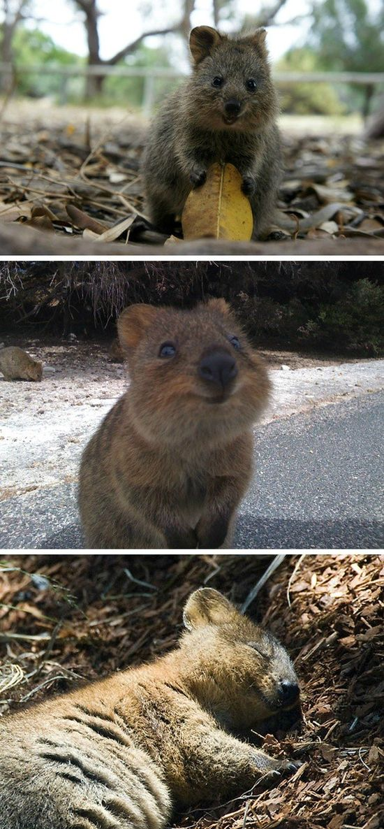 This is a quokka. Yes they always look this happy and apparently they're also very polite.  Can I have one?  Please?  Its so cute!