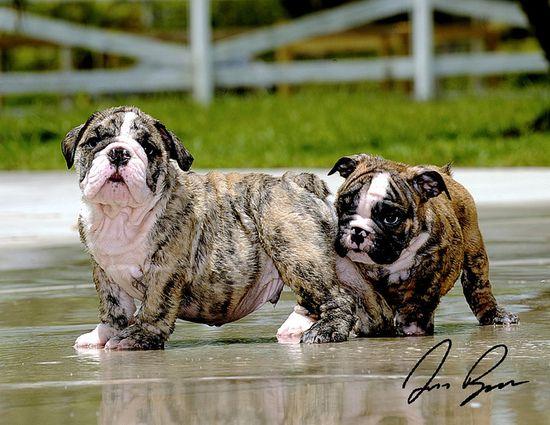 Beating the heat English bullie style. #water #cute #dogs #puppies #bulldog #English #pets #animals