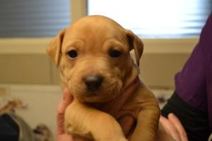 Poly is an adoptable Pit Bull Terrier Dog in Dewitt, NY. Poly is one of 12 in a litter of Pit mix (mom) and Lab/Shihtzu (dad) pups. They arrived in late December and are now 7 weeks old and available ...