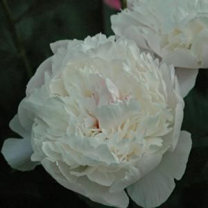 September is the month for dividing peonies and most other perennial flowers. All those plants you didn't get moved in the spring now get a second chance to develop wheels. However, peonies are one of the few perennial flowers that survive better with September transplanting than spring planting.