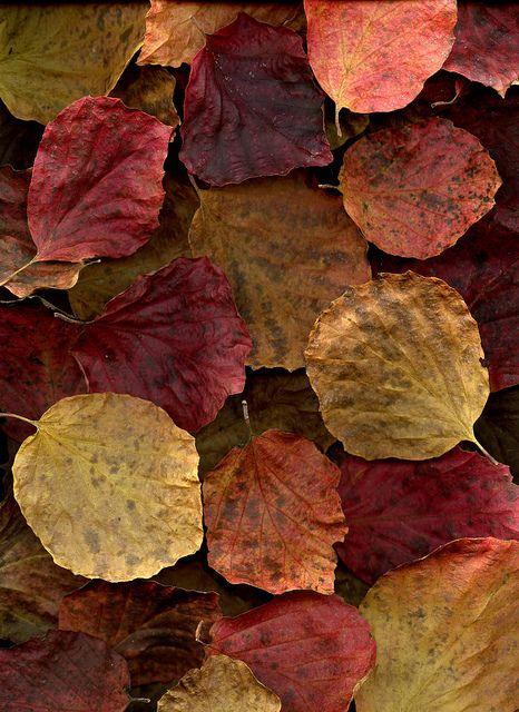 55665.01 Fothergilla major | Flickr - Photo Sharing! #pantone color of the year 2015 | #marsala